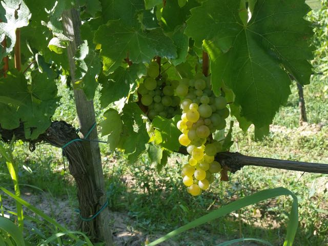 Furmint grape